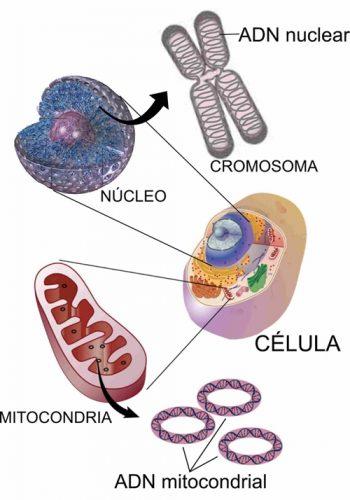 celula-mitocondria500